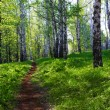 Sunny birch forest — Stock Photo