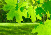 Green maple leaves on defocused background — Stock Photo