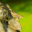 Lizard on tree trunk — Stock Photo #29239491