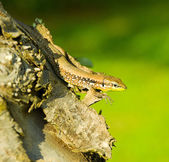 Lizard on tree trunk — Stock Photo