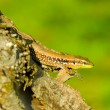 Lizard on tree trunk — Stock Photo #29609135