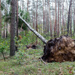 Fallen tree after hurricane - Stock Photo