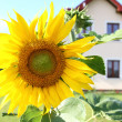 Sunflower in the garden - Stock Photo