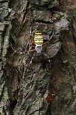 Araña avispa — Foto de Stock