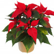 Stock Photo: Christmas Star Flower, Poinsettia