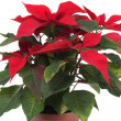 Christmas Star Flower, Poinsettia — Stock Photo #39846361