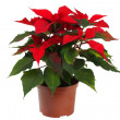 Christmas Star Flower, Poinsettia — Stock Photo