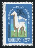 Uruguay lama — Stock Photo