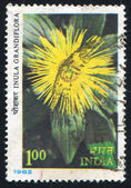 Flower Showy inula — Stock Photo
