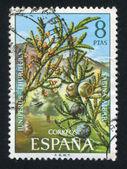 Juniperus thurifera — Foto de Stock