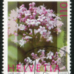 Valeriana officinalis — Stock Photo #18452127