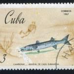 ������, ������: Great barracuda