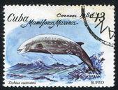 Beaked whale Ziphius cavirostris — Stock Photo