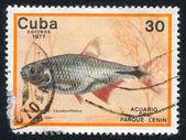 Pesce hemigrammus caudovittatus — Foto Stock
