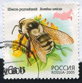 Bombus unicus — Foto Stock