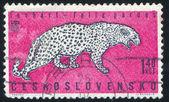 Leopard — Stock fotografie
