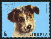 Fox terrier — Stock Photo