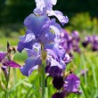 Blue irises — Stock Photo