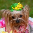Yorkshire Terrier — Stock Photo #31391013