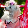 Chinese Crested Dog — Stock Photo #31886139