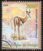 Springbok — Stock Photo