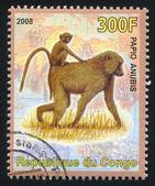 Olive baboon — Stock Photo