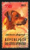Rhodesian Ridgeback — Stock Photo