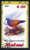 Choiseul Pigeon — Stockfoto