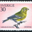 Stock Photo: Greenfinch