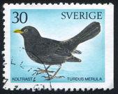 Blackbird — ストック写真