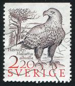 White tailed sea eagle — Стоковое фото