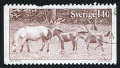 Gotland Ponies — Stock Photo