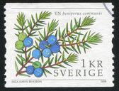Juniper berries — Stock Photo