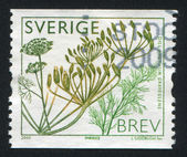 Sweden Dill — Stock Photo