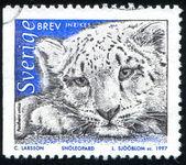 Leopardo da neve — Foto Stock