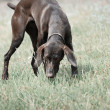 German short haired pointer - Stock Photo