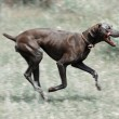 Dirty dog running — Stock Photo