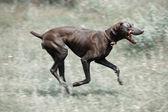 Dirty dog running — Stock Photo