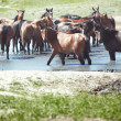 Herd of horses — Stock Photo