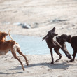 Stock Photo: Dog fight