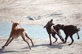Dog fight — Stock Photo