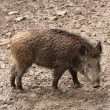 Wild boar in their natural environment — Stock Photo
