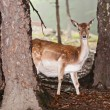 Deer in their natural environment in the forest — Stock Photo #32754971