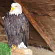 American Bald Eagle sitting on a support — Stock Photo