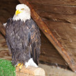 American Bald Eagle sitting on a support — Stockfoto