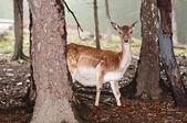 Hjortar i deras naturliga miljö i skogen — Stockfoto