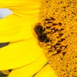 Close up macro bee working on sunflower — Stock Photo #41917223