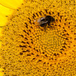 Close up macro bee working on sunflower — Stock Photo #41917285