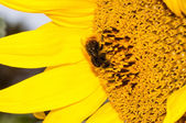 Close up macro bee working on sunflower  — 图库照片