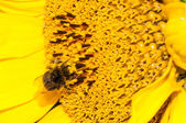 Close up macro bee working on sunflower  — Stock Photo